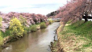 2017,秋田,桜