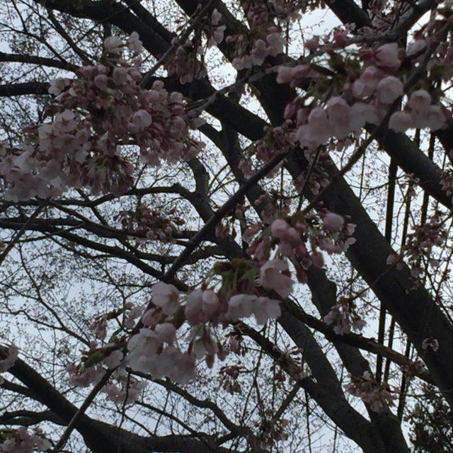 2017,桜,秋田
