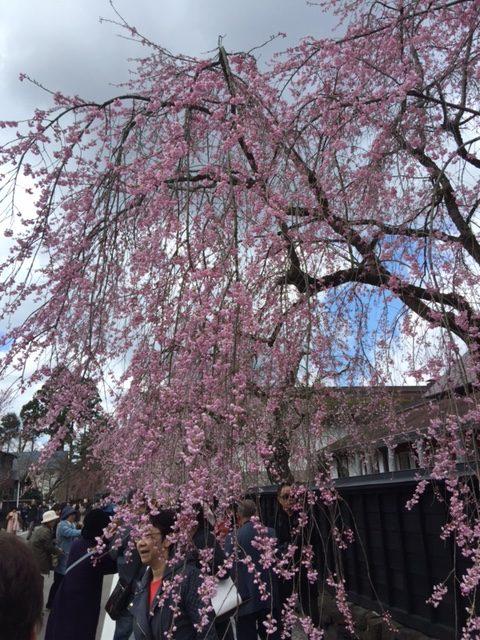 2017,角館,桜